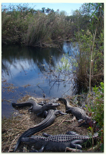 Kayak with alligators in the Everglades and 10,000 islands with Adventures in Florida.