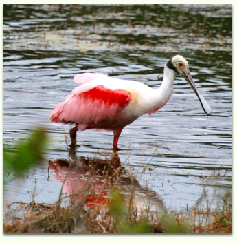 Birding and kayaking at Merritt Island National Wildlife Refuge with Adventures in FLorida.
